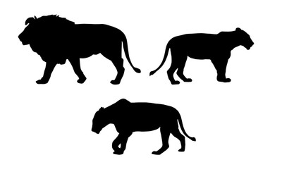 Set realistic silhouettes of one lion and two lionesses, animals in the wild, isolated on white background, vector