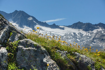 Wall Mural - Blumen in den Alpen mit Gletscher im Hintergrund