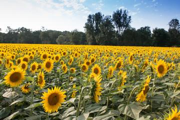 champs de tournesol, Gers