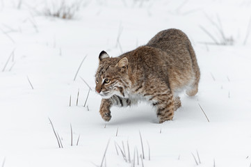 Fotomurales - Bobcat (Lynx rufus) Stalks Forward One Paw Up Winter