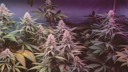 CANNABIS STRAINS & MARIJUANA PRODUCTS. Medical strains for commercial growing