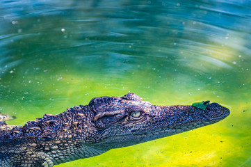Siamese crocodile in the water