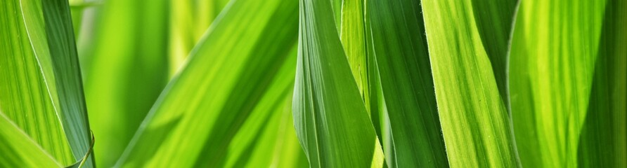 Close up of green Corn leaves in sunlight Fotomurales