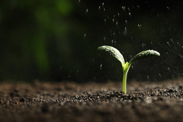 Sprinkling water on green seedling in soil, closeup. Space for text Fototapete