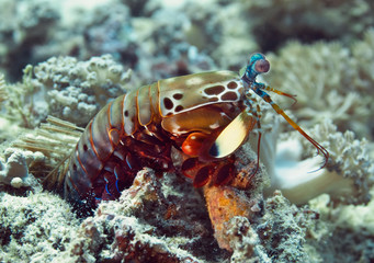 Peacock mantis shrimp gets out of his burrow. Underwater macro photography
