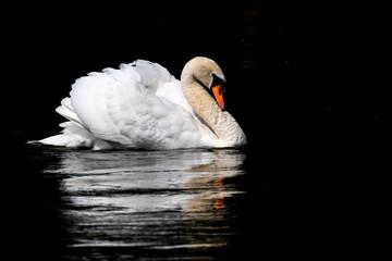 Foto op Plexiglas Zwaan Low Key side view of a mute swan with reflection black background