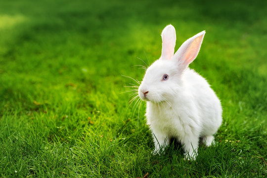 Cute adorable white fluffy rabbit sitting on green grass lawn at backyard. Small sweet bunny walking by meadow in green garden on bright sunny day. Easter nature and animal background