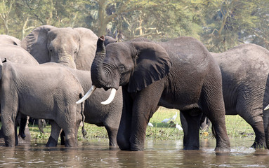 Male African elephant with large tusks