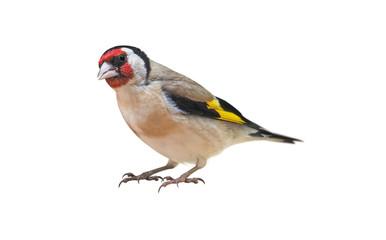 European Goldfinch (Carduelis carduelis) isolated on White Background