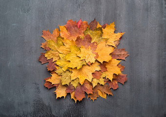 Wall Mural - Seasonal autumn background. Colorful maple leaves over grey texture.