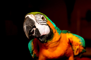 Foto op Plexiglas Papegaai Blue and gold macaw pet parrot tropical bird with black background