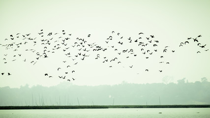 Recess Fitting Bird Flock Of Cormorant Shag Birds Flying Over Lake In Winter. Migratory waterfowl fly on their way back to their nesting places, the day about to end in Evening. Rudrasagar Lake Neermahal Agartala Tripura
