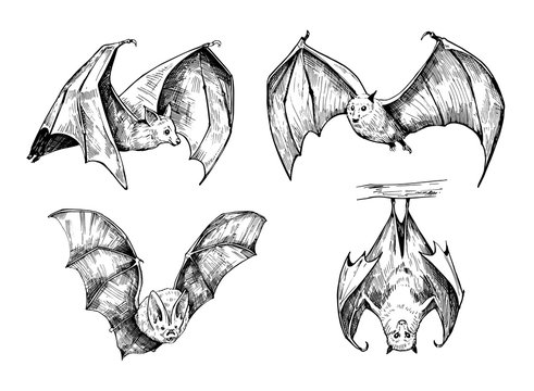 Bat sketch. Hand drawn illustration converted to vector