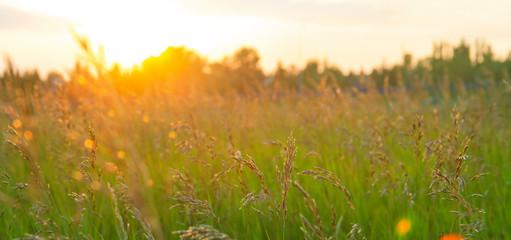 Summer sunset in long grass, golden counter light, background