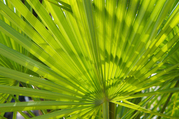 Canvas Prints Palm tree Serenoa repens saw palmetto palm leaves