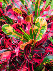Focus Stacked Image of Colorful Red, Yellow, Green Crotons