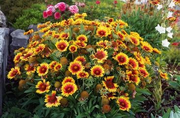 Kokardenblume, insektenfreundliche Pflanze