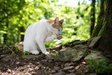 side view portrait of a white ginger domestic cat in the forest next to a tree on sunny summer day grooming the fur licking paw