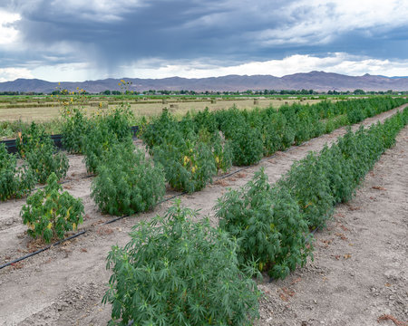 USA, Nevada, Lyon County, Yerington: One of the first legal Industrial Hemp Farms growing Cannabis sativa for CBD medical and recreational concentrates