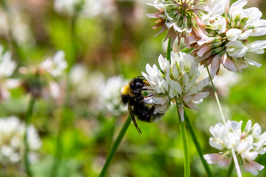 A bee collects nectar on a white clover (Trifolium repens) flower. Natural background. Pollination of crops.