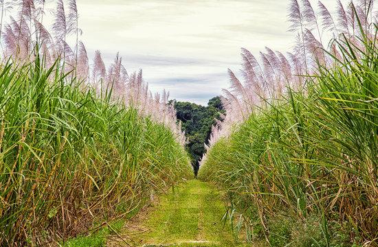 A tall crop of Sugar Cane growing in a field in tropical Far North Queensland, Australia.