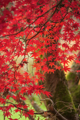 Poster Cuban Red Beautiful colorful vibrant red and yellow Japanese Maple trees in Autumn Fall forest woodland landscape detail in English countryside