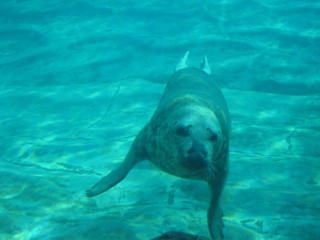 Picture of a seal swimming under water