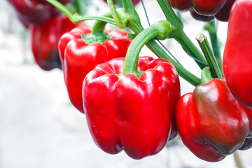 close up ripe red bell pepper in greenhouses farming Wall mural