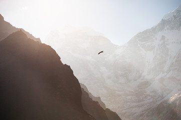 Himalayan hawk soaring in the mountains at sunrise. Himalayas, Khumbu valley, Everest region, Nepal