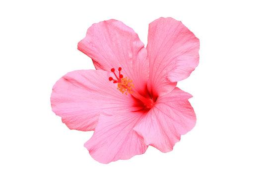 Hawaiian hibiscus flower isolated