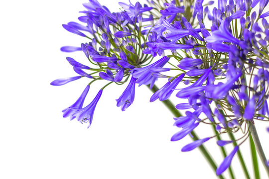 blue agapanthus flower on a white background