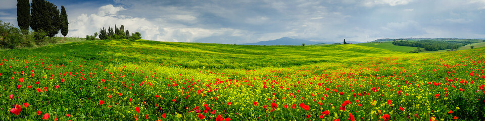 Foto op Aluminium Bleke violet Poppies is a field in Tuscany, Italy