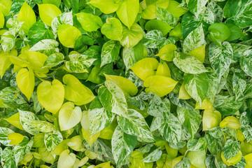 Green leaves background, close-up of Epipremnum aureum or golden pothos bush.
