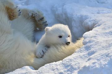 polar bear in snow Fototapete