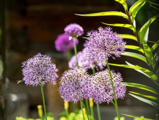 Zierlauch (Allium) auf einer bayerischen Alm