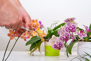 Fototapeta Orchids flowers in pot. Care of potted plants at home. Phalaenopsis. Orchidaceae. obraz