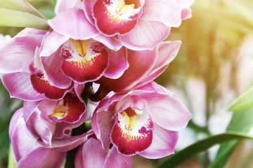 Foto auf Leinwand Orchideen Closeup of Blooming Pink Cymbidium Orchid Flowers