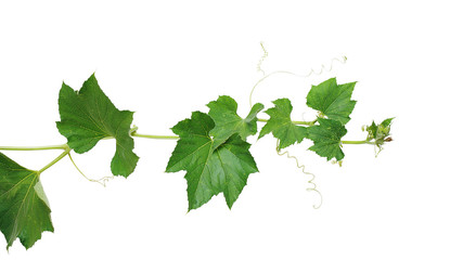 Pumpkin vine with green leaves and tendrils isolated on white background, clipping path included.