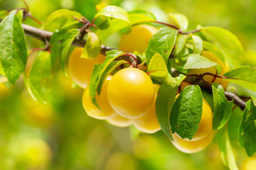 branch of ripe yellow plums in a garden