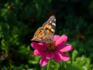 Painted Lady butterfly, Providence, Rhode Island, USA