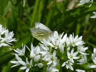 Green-veined White butterfly, Scotland