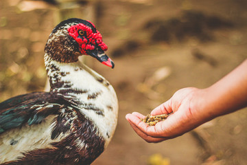 Muscovy Duck taking food from a child's hand