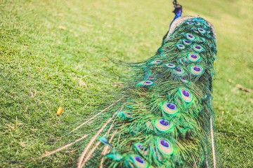 Peacock tail feathers walking on the green lawn
