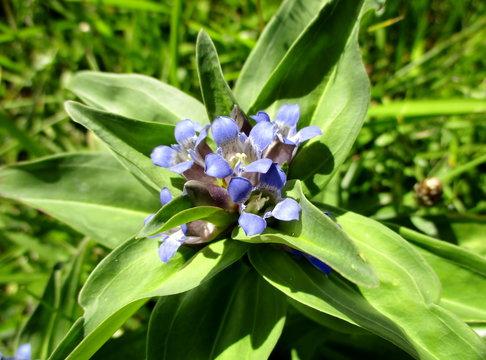 Plan rapproché au soleil des fleurs bleues en trompette d'une gentiane croisette (Gentiana cruciata) vue du dessus. Sol herbeux en arrière-plan La Plagne-Montalbert, Savoie, France.  Eté 2019.