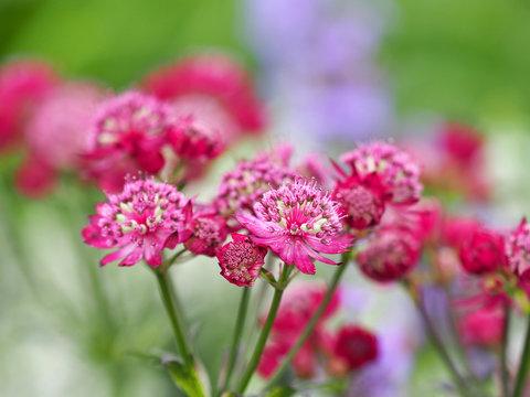 Pink flowers of astrantia major, masterwort, Apiaceae. Summer  garden, close-up