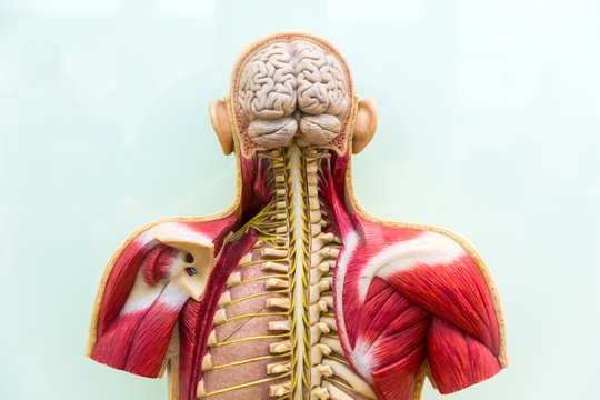 Human body, brain, skeleton and muscular system
