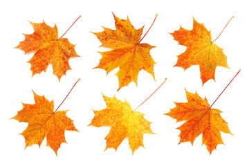 Pattern of six bright, autumn maple leaves isolated on white background