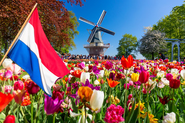 Foto op Canvas Tulp Blooming colorful tulips flowerbed in public flower garden with windmill and waving netherlands flag on the foreground. Popular tourist site. Lisse, Holland, Netherlands.