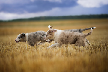 Border collie puppies running in a stubblefield