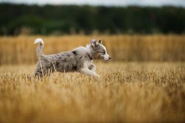 Border collie puppy running in a stubblefield